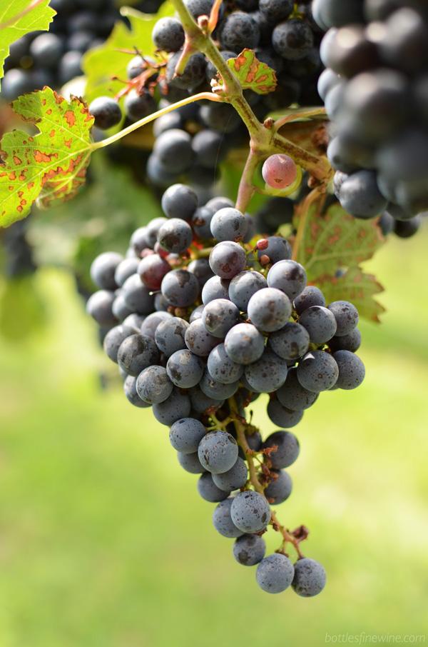 Newport Vineyards - grapes